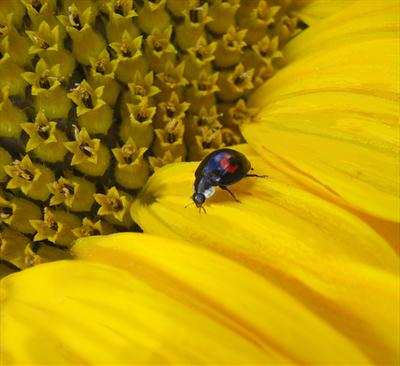 Sunflower and Black Ladybird #2