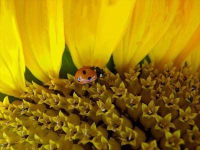 Sunflower and Ladybird #4