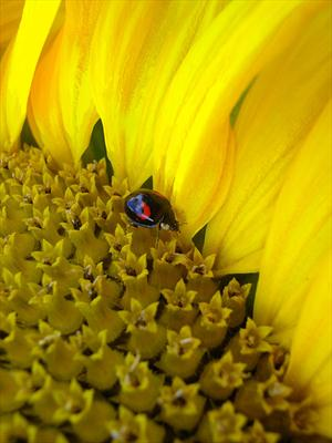 Sunflower and Black Ladybird #4