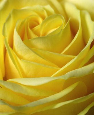 Yellow Rose #4