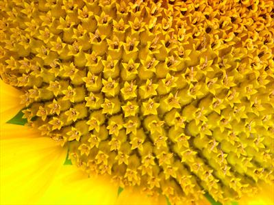 Sunflower #7