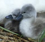Cygnets #13 by Joanne Holding, Photography