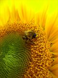 Sunflower and Bee #3 by Joanne Holding, Photography