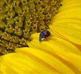 Sunflower and Black Ladybird #2 by Joanne Holding, Photography