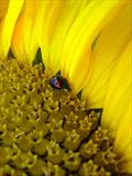 Sunflower and Black Ladybird #4 by Joanne Holding, Photography