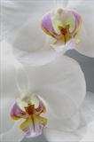 White Orchid 1 by Joanne Holding, Photography
