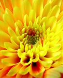 Yellow Daisy #5 by Joanne Holding, Photography